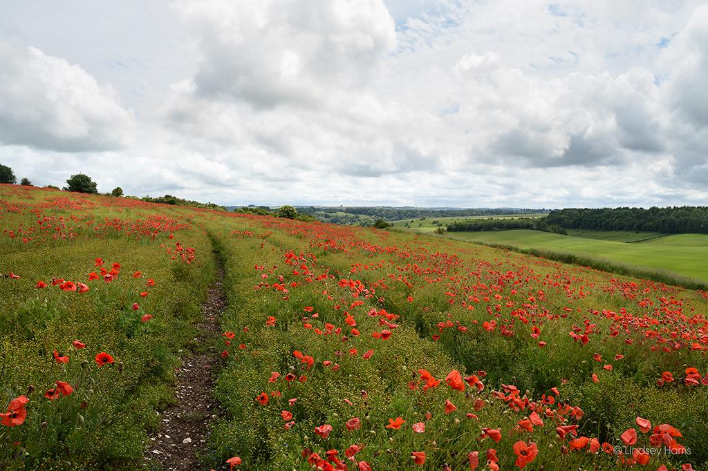 Red poppy field Wiltshire.