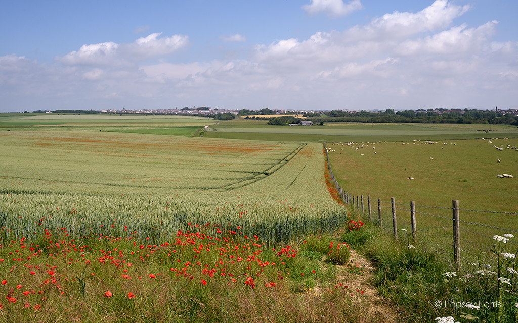 Dorset red poppies in a field.