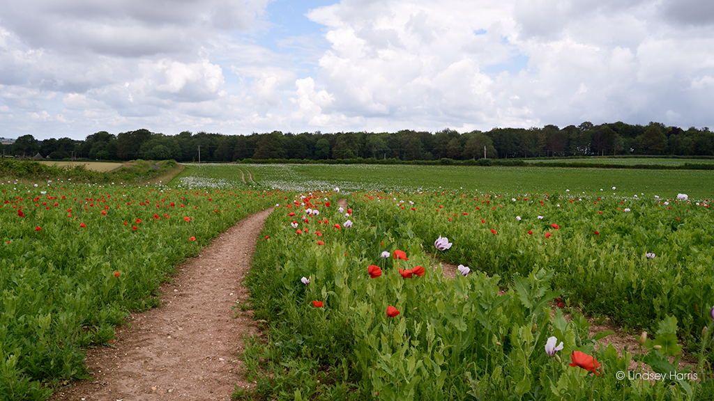 Red poppies growing in a field with Dorset pink opium poppies.
