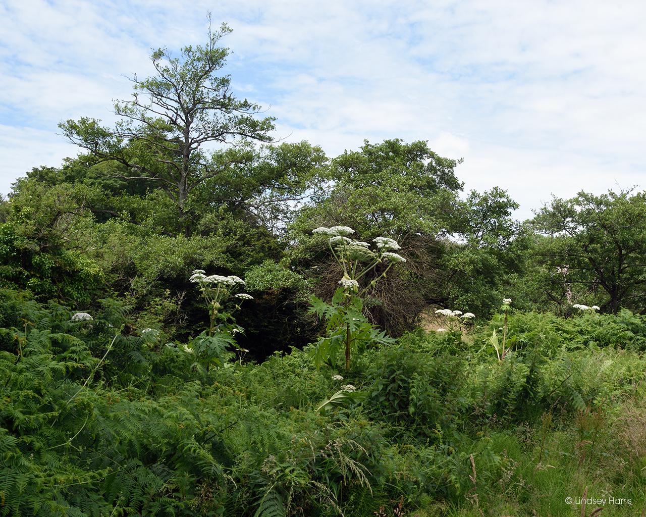 Giant hogweed plants in Dorset.