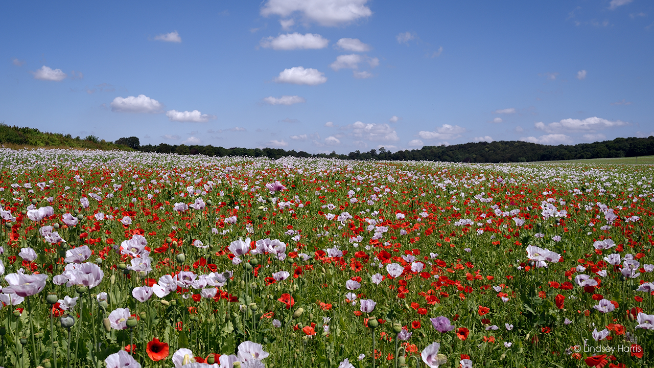 Dorset pink and red poppy fields 2021.