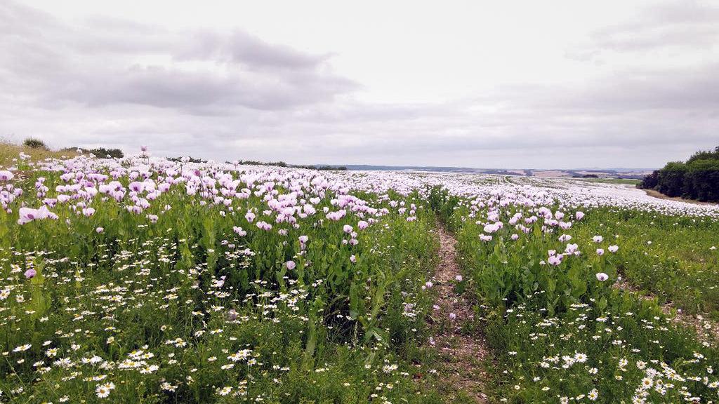 Pink Poppies Dorset 2021