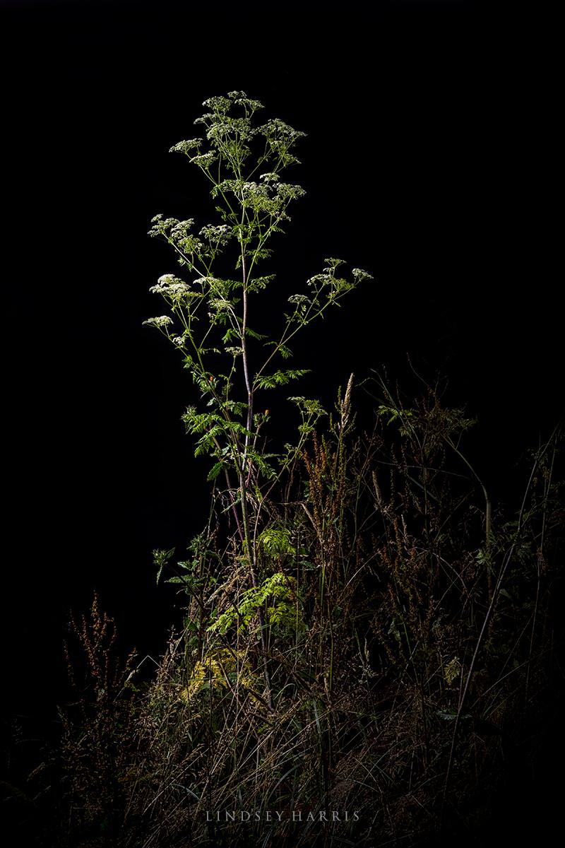 Conium maculatum (hemlock)