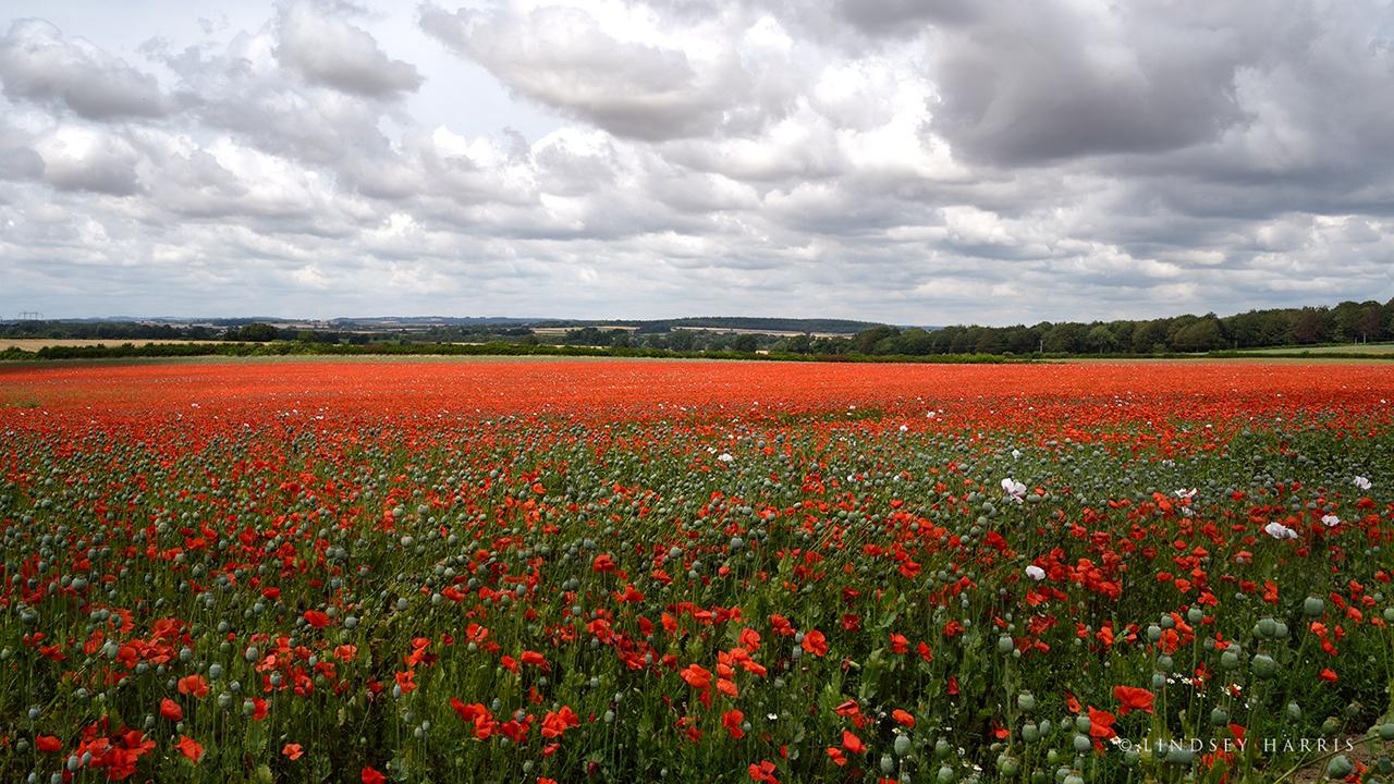Huge Dorset red poppy field 2021.