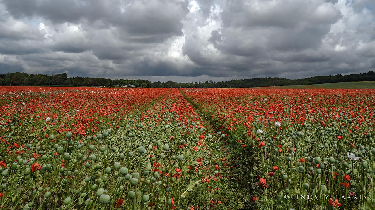 Red poppy field in Dorset - 2021.