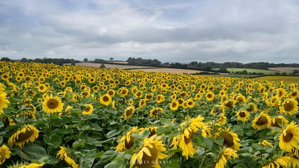 Dorset sunflower fields 2021. Helianthus.