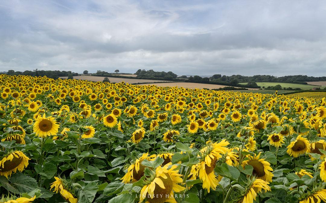 Dorset Sunflower Fields