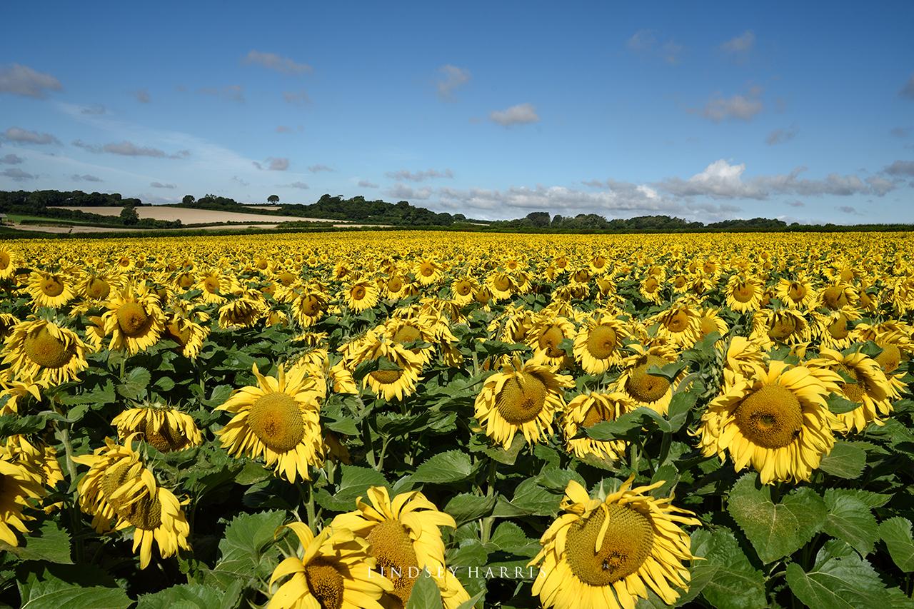 A huge field of sunflowers in Dorset.