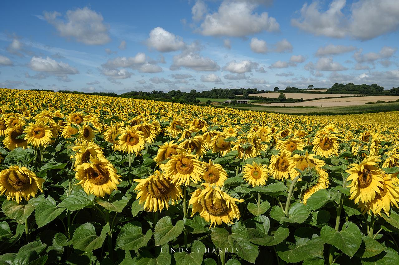 A field of Dorset sunflowers, August 2021.