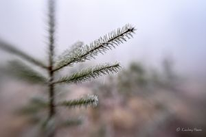 Christmas tree with frost