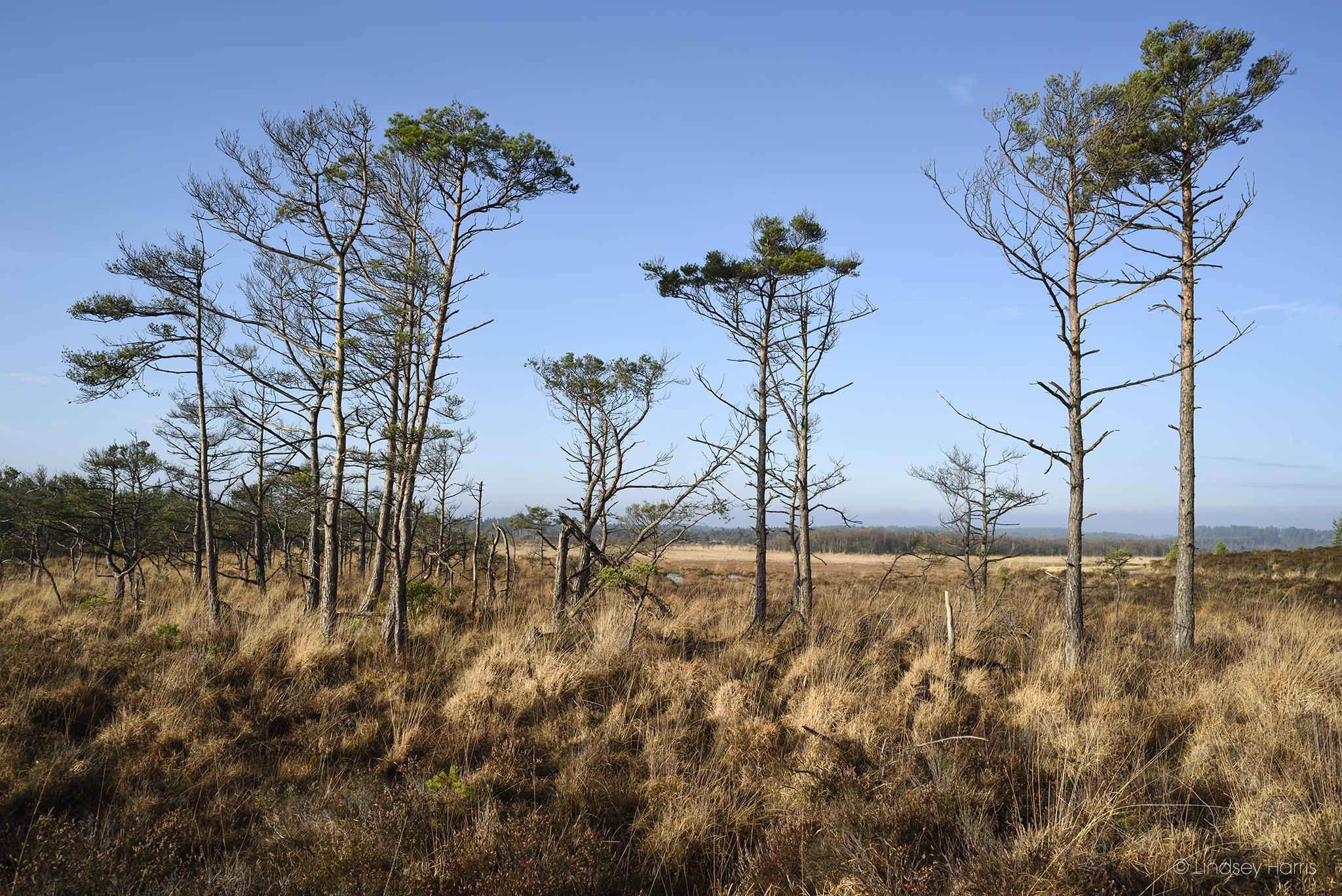 Morden Bog Heath, Dorset.