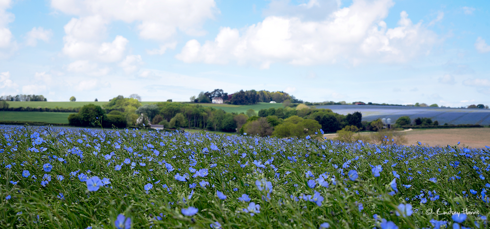 Fields of flax (linseed), Dorset 2017.