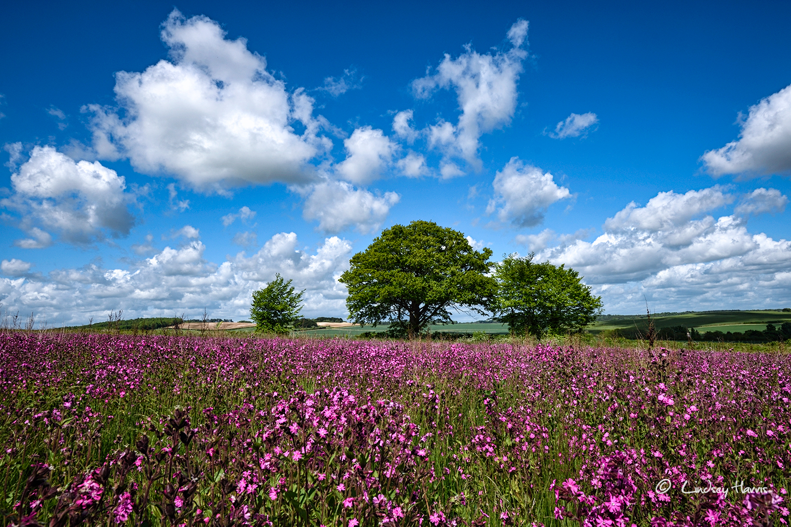 Field of red campion, Dorset. 2017.