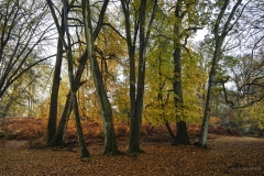 Beautiful colours of the beech trees. New Forest, autumn 2018.