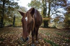 New Forest pony, autumn 2018.