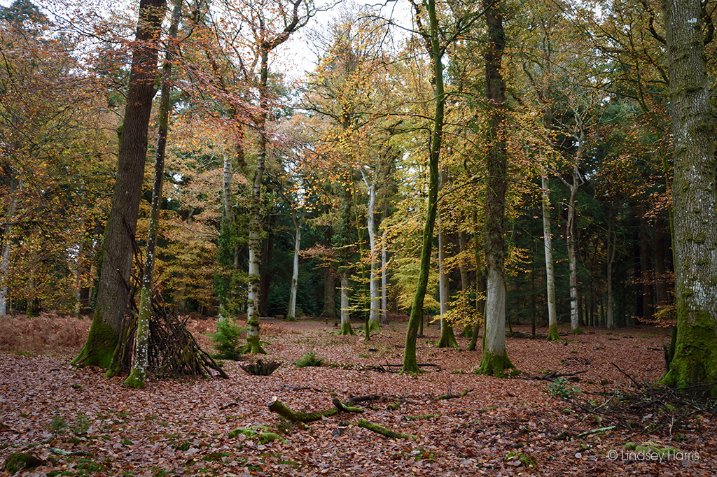 Golden beech trees at Blackwater Arboretum, New Forest.