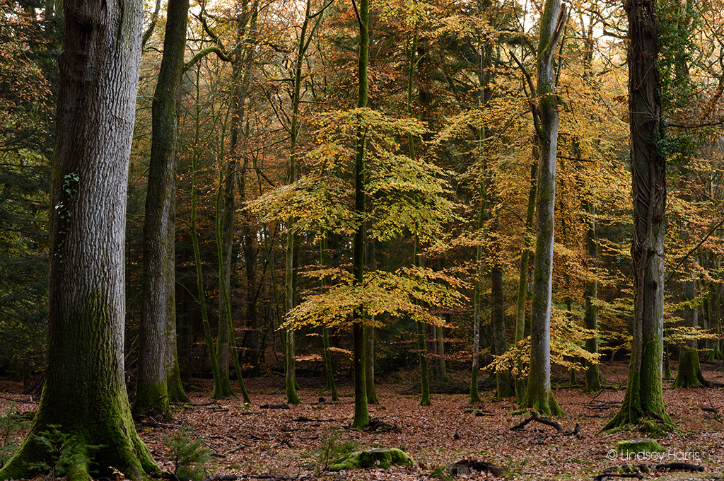 Golden-leaved beech trees in the New Forest in autumn.