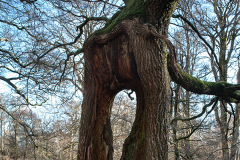'The Giant'. Rear view of an interesting tree at Bolderwood, New Forest.