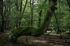 'The Deer Tree'. At Bolderwood, New Forest.