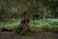 I just love the vibrant green of the moss on the remains of this tree at Fritham, New Forest.