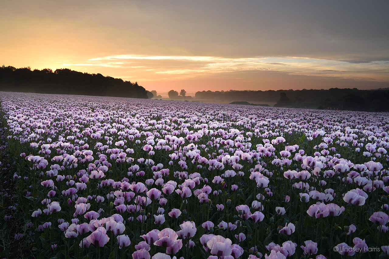 Sunrise and mist over a field of Dorset pink poppies.