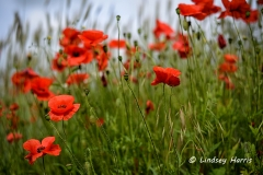 Red Poppies, Dorset