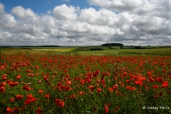 Field of red poppies, Dorset.